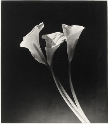 Arums, ca. 1931-1934