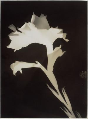 Blumenphotogramm, ca. 1922-1928